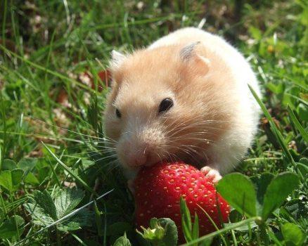 Quels sont les aliments dangereux pour les hamsters ?